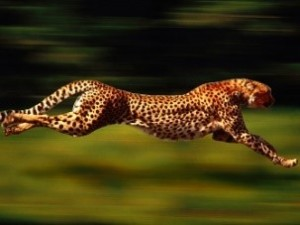 cheetah: a predator like one of two choices in life