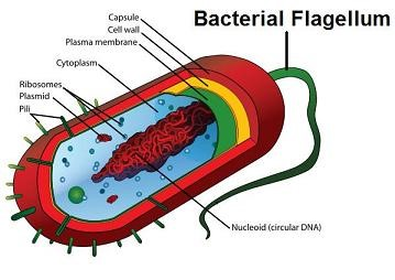 Bacterial Flagellum disproves Darwin